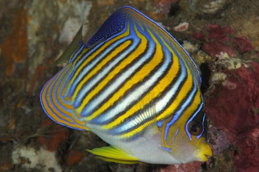 Regal Angelfish - Alam Batu Beach Resort - Bali - Indonesia 2010