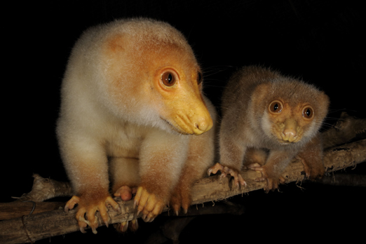 Spotted Cuscus and Common Cuscus - Tufi - Oro Province - PNG 2009