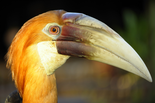 Portrait of a hornbill - Tufi - Oro Province - PNG 2009