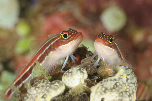 Two Striped Triplefin - Pantar - Alor-Archipelago - Indonesia 2010