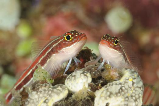 Two Striped Triplefin - Pantar - Alor-Archipelago - Indonesia 2010