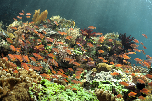 Coral reef with Anthias - Pantar - Alor-Archipelago - Indonesia 2010
