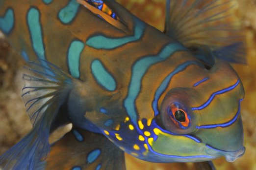 Detail of a Mandarinfish - Pantar - Alor-Archipelago - Indonesia 2010