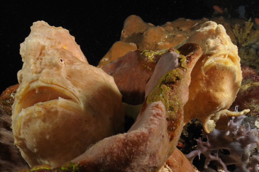Pair of Giant Frogfish - Pantar - Alor-Archipelago - Indonesia 2010
