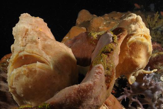 Pair of Giant Frogfish - Pantar - Alor-Archipelago - Indonesia 2010