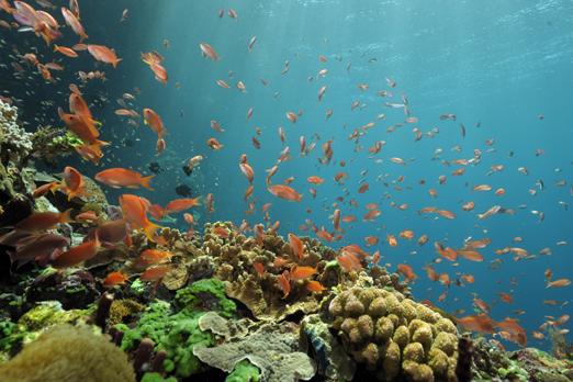 Coral reef with Anthias sp. - Pantar - Alor-Archipelago - Indonesia 2010