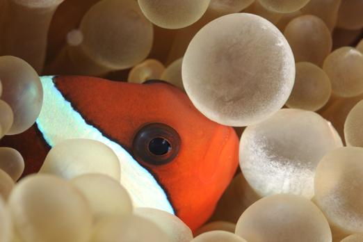 Anemonefish - Pantar - Alor-Archipelago - Indonesia 2010