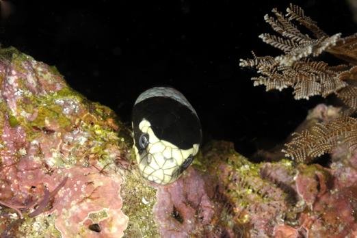 Black + White Sea Krait (Laticauda colubrina) - Pantar - Alor-Archipelago - Indonesia 2010