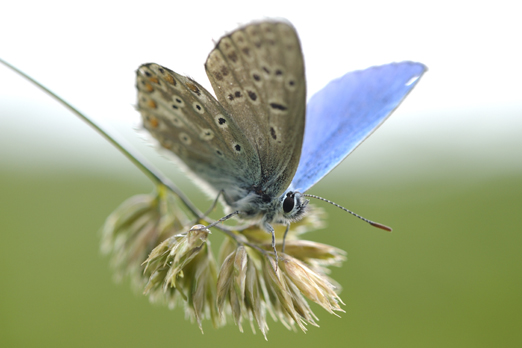 Small Blue (Polyommatus bellargus) - Kaiserstuhl - Germany 2009