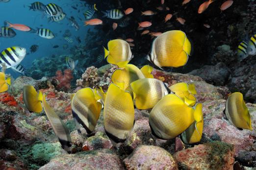 Blacklip Butterflyfish - Pantar - Alor-Archipelago - Indonesia 2010