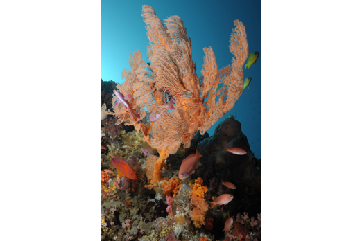 Annella mollis with Coral Grouper and Anthias - Pantar - Alor-Archipelago - Indonesia 2010