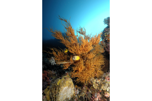 Antipathes sp. - Pantar - Alor-Archipelago - Indonesia 2010