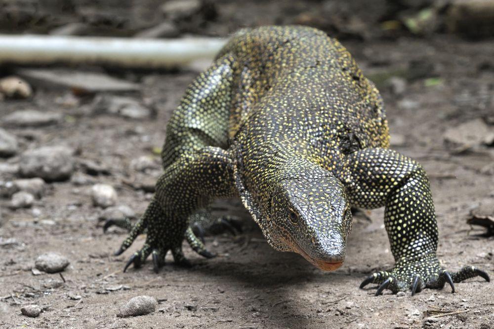 Raja_Ampat_Sorido_2015_Monitor Lizard_TOM3743