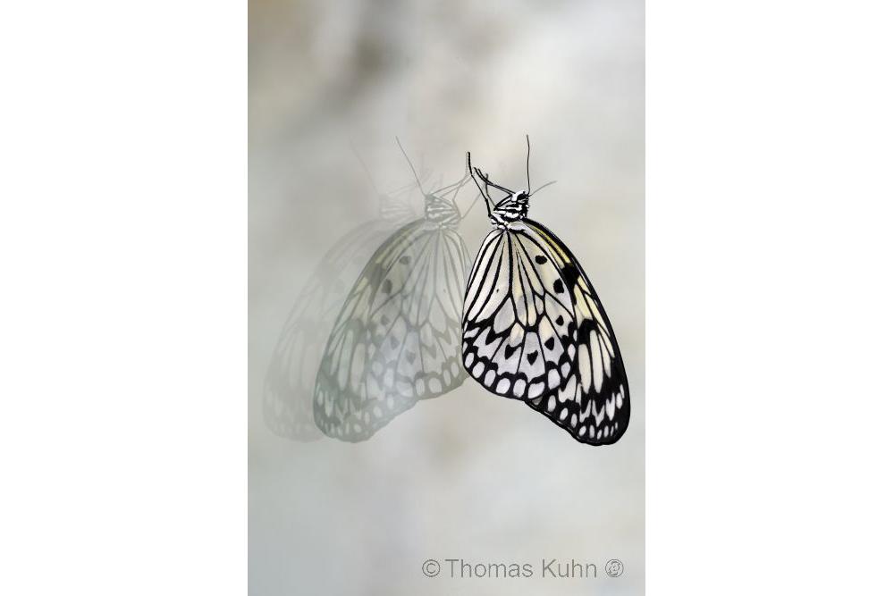 Weiße Baumnymphe (Idea leuconoe)_sk_TOM2420
