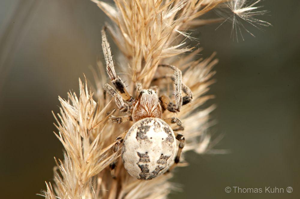 Larinioides_cornutus_Biebesheim_TOM4955