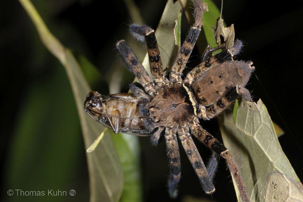 Raja_Ampat_Sorido_2015_Common_Spider_Happy_Meal_TOM4214