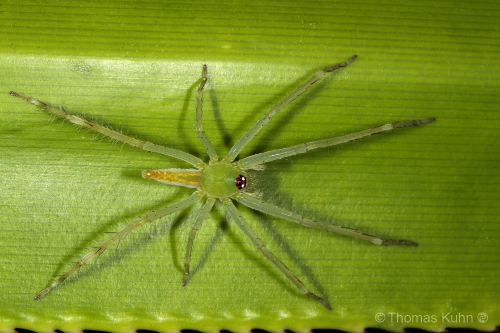 Raja_Ampat_Sorido_2015_Green_yellow_spider_TOM4242
