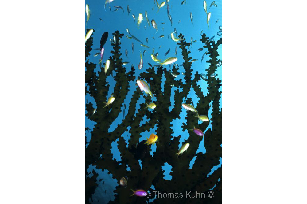 PNG_2006_TOM_Anthias