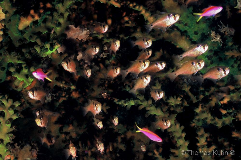 PNG_2006_TOM_Green_coral