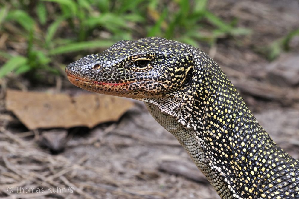 Thomas_Kuhn_Monitor_Lizard_TOM3805