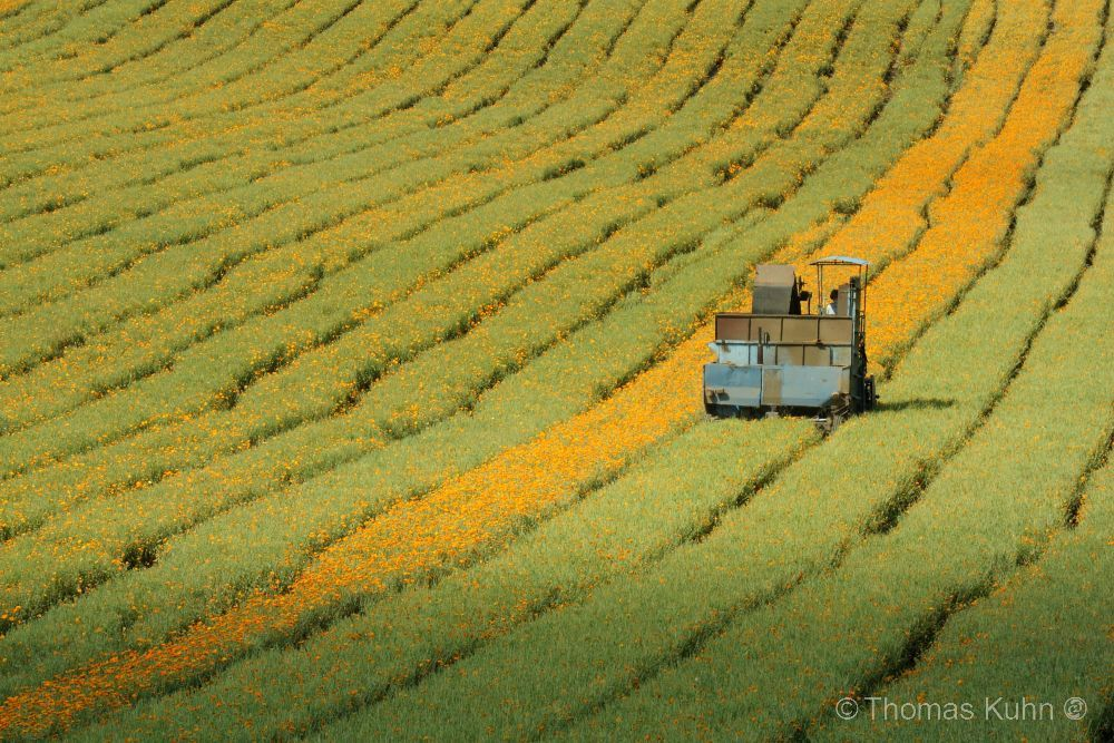 LandscapeRingelblume_DSCN4115
