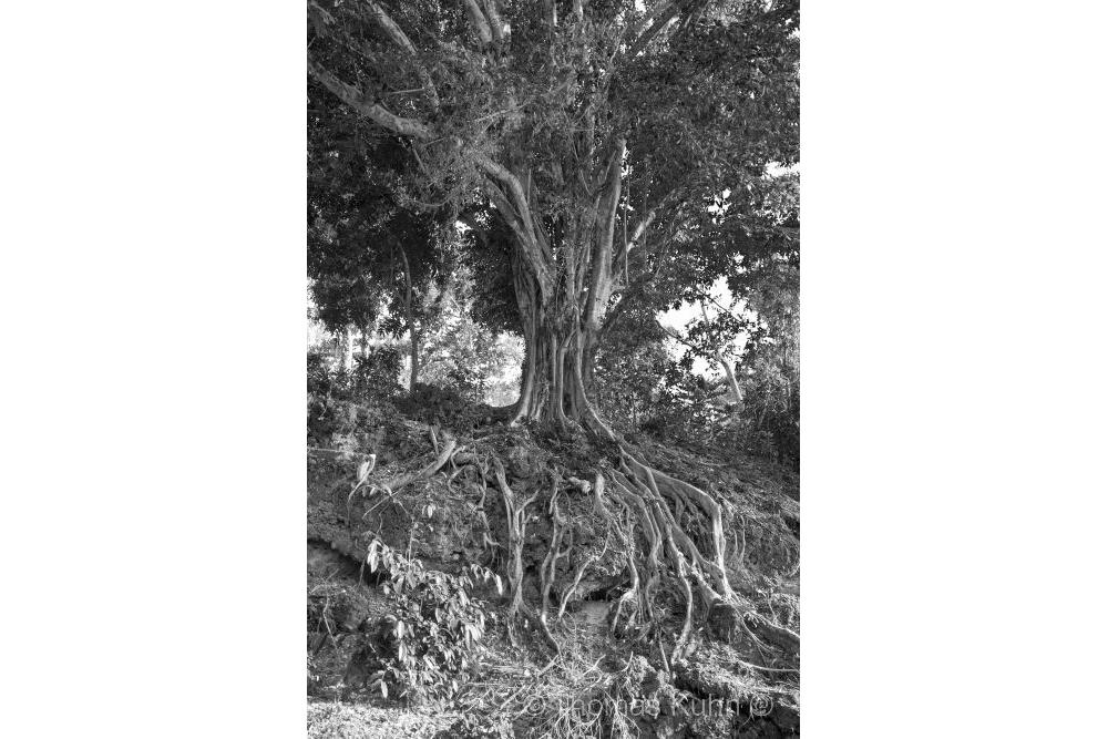 Trees&ForestsAmbon_TOM_s_w_DSCN0999