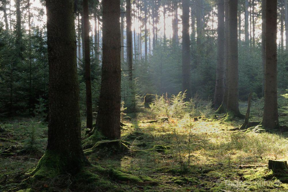 Trees&ForestsBei_Bullau_Wald_2_3_DSCN7874