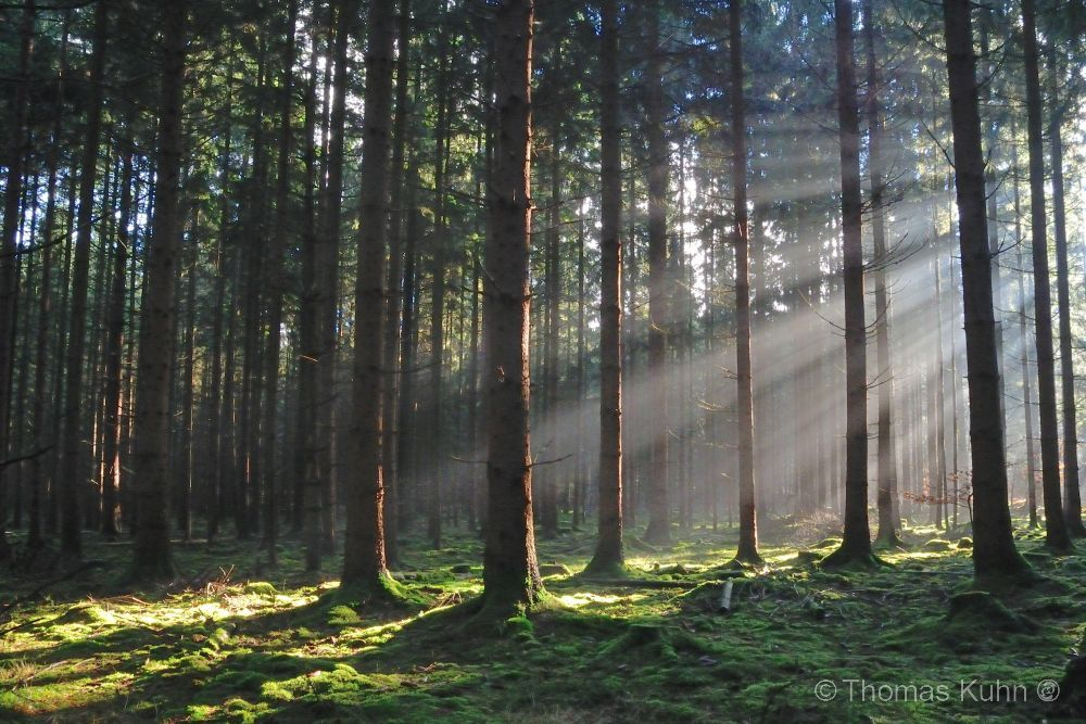 Trees&ForestsBei_Bullau_Wald_2_3_DSCN7878