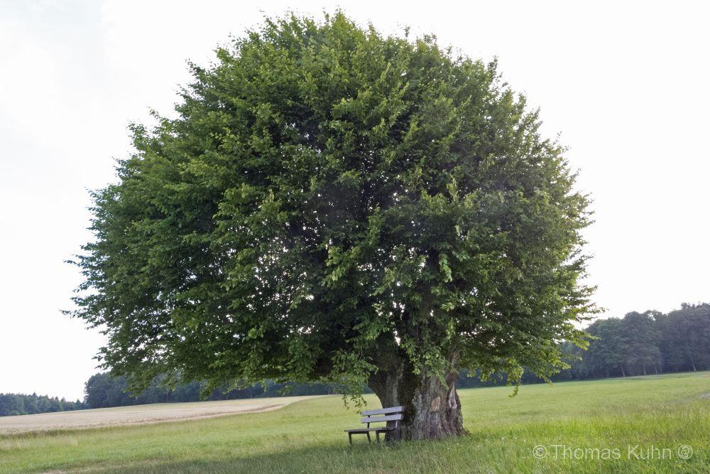 Trees&ForestsBreitenbuch_KD_Hainbuche_2014_TOMDSCN1477