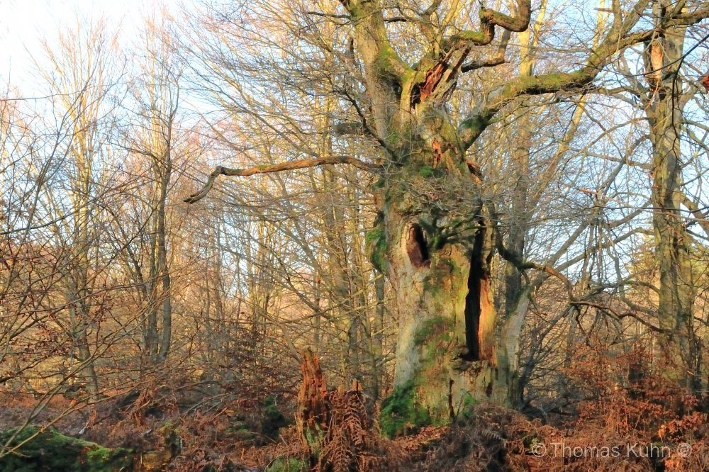 Trees&ForestsEiche_28_12_2016_Tom_DSCN4795