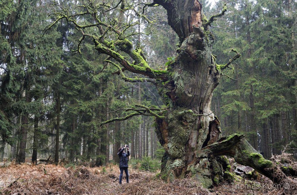 Trees&ForestsGerichtseiche_am_Junkernkopf_Reinhardswald_27_12_2015_TOM5735