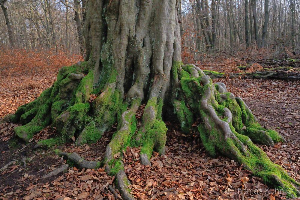 Trees&ForestsHainbuche_28_12_2016_Tom_DSCN4773