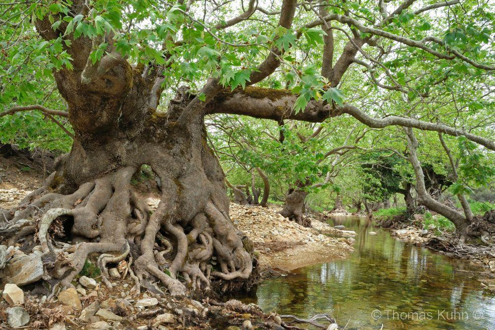 Trees&ForestsIkaria_Pezi_Plateau_1_TOMDSCN7324
