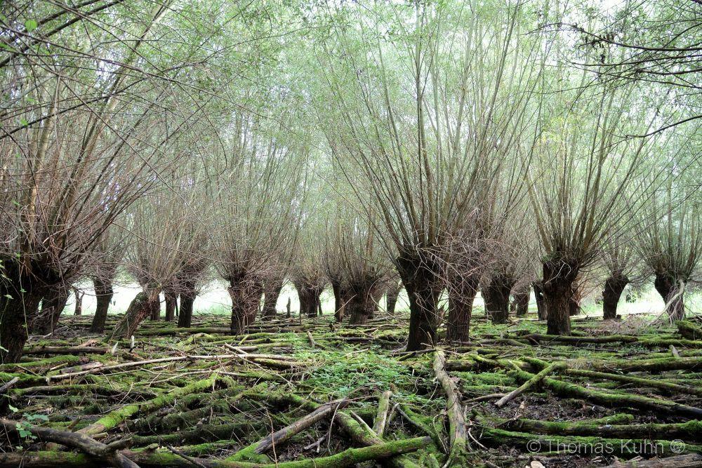Trees&ForestsKühkopf_Insel_09_09_16_TOMDSCN5708