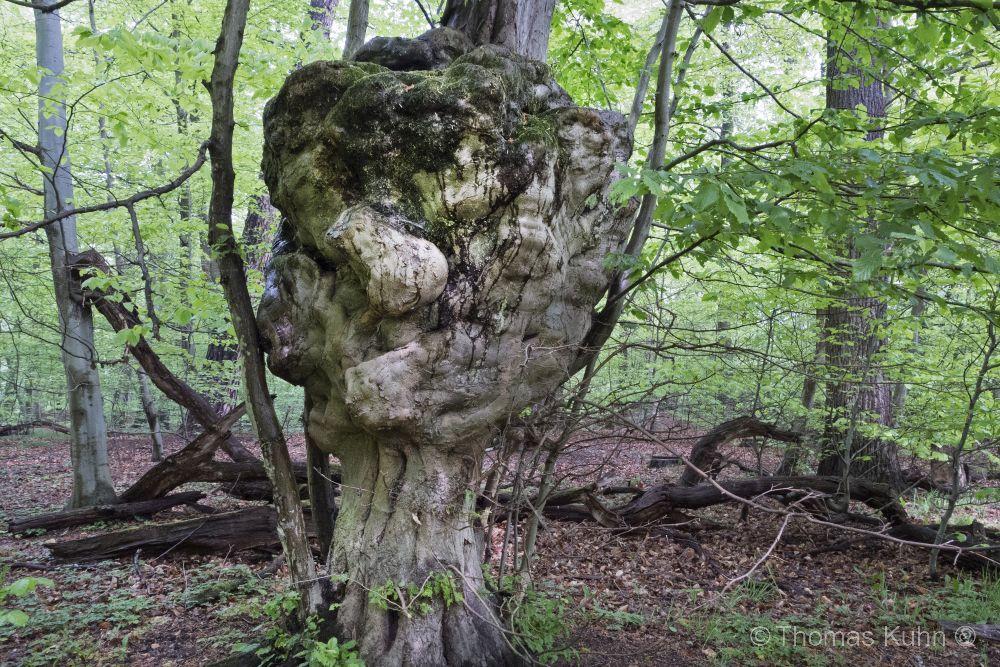Trees&ForestsMaserknolle_Karnichsteiner_Str_Mai_2014_1TOM_DSCN0741