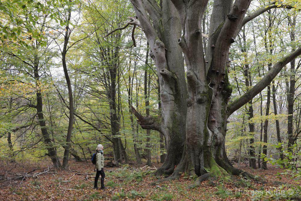 Trees&ForestsUrwald_Sababurg_TOM0281