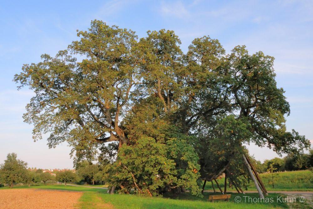 Trees&ForestsWalkstätter_Linde_Bernstadt_DSCN6369